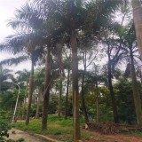 7米高大王椰子树苗价格 8米高大王椰子基地批发报价