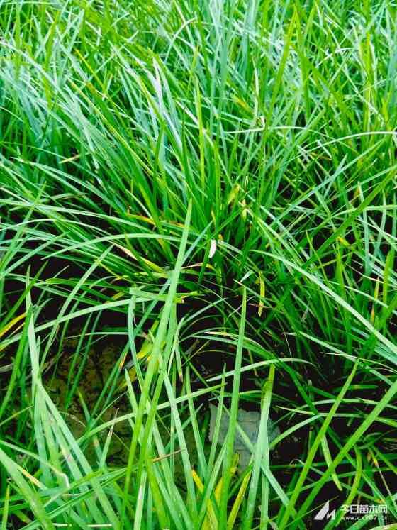 小區綠化麥冬草價格 麥冬苗基地批發