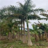 大王椰子价格 批发 漳州大王椰子树苗供应商报价
