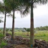 大王椰子树价格 行情 福建9米10大王椰子出售报价