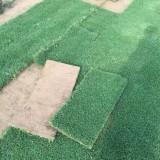 玉龙草草坪基地直销 玉龙草种植