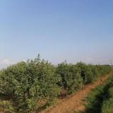 丛生美国红枫多少钱一棵 丛生美国红枫价格