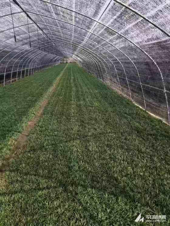 麦冬草多少钱一斤 草坪俺去也