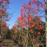 澳洲火焰木树苗价格 福建澳洲火焰木基地
