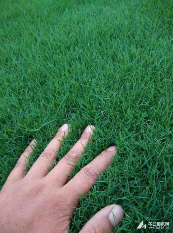 麦冬草种植技术  采购麦冬草