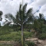 杆高2米3米的国王椰子价格 福建国王椰子树苗基地批发