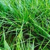 山东麦冬草哪里便宜 泰安麦冬草基地报价