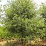 10公分柳叶栎基地批发
