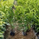 双色茉莉盆栽批发价格 双色茉莉花苗多少钱一株