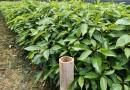 香樟种苗小苗 批发价格  香樟苗基地