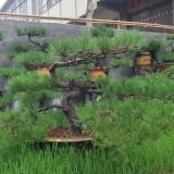 盆景油松价格 盆景油松供应出售