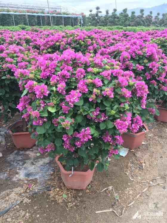 漳州三角梅种植 三角梅球价格