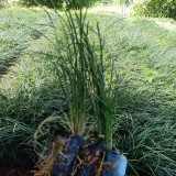 麦冬草多少钱一斤 价格 福建麦冬草基地直销