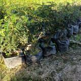 20公分胡椒木多少钱一棵 胡椒木基地供应