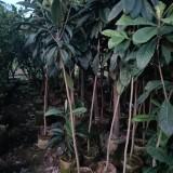 枇杷树多少钱一棵  枇杷树报价  枇杷树果苗批发