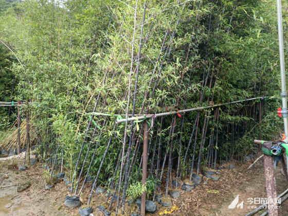 紫竹多少钱一棵 观赏竹批发基地