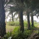 中东海枣批发价格  中东海枣苗木基地