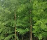 2020年池杉价格表 池杉种植
