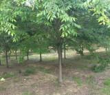 江苏多规格榉树批发 6公分榉树价格