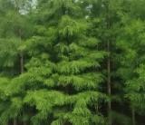 池杉种植方法  池杉5-6-7-8-9-10公分价格
