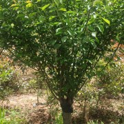 红梅苗木价格多少 12公分红梅树苗价格
