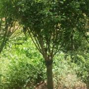 红梅树苗多少钱一棵 红梅树苗价格