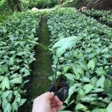 白蝴蝶合果芋袋苗价格批发 福建漳州合果芋苗直销