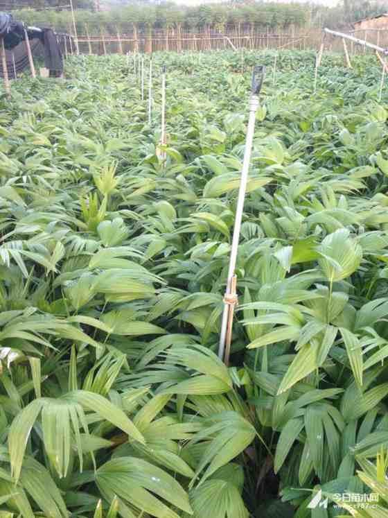 蒲葵小苗多少钱一棵 福建漳州蒲葵种植基地报价