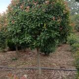 红叶高杆石楠树价格 江苏5公分-8公分高杆石楠价格