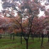 红枫树苗价格 江苏10公分红枫出售 厂家直供