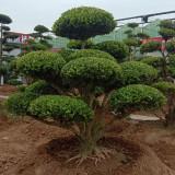 江苏小叶女贞造型树 3米小叶女贞造型树价格