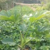 春羽小苗价格 批发高60公分-1米春羽苗木
