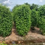 福建哪里有垂叶榕出售 基地垂叶榕小苗价格