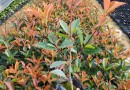 红叶石楠营养钵苗价格 福建大型红叶石楠基地出售