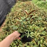 红背桂7斤袋苗多少钱 漳州红背桂袋苗基地直销
