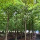 落羽杉基地批发 落羽杉价格  落羽杉树苗