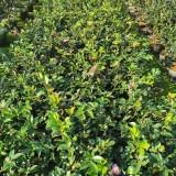 哪里有卖茶梅苗 福建一年二年三年茶梅苗基地批发
