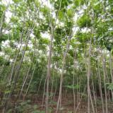 河北火炬树基地批发 火炬树树苗多少钱一棵
