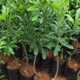 杨梅树树苗多少钱一棵 基地杨梅树杯苗袋苗批发