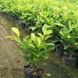 黄金榕袋苗价格 福建黄金榕苗种植基地出售