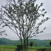 安徽丛生朴树基地 价格 移栽朴树批发