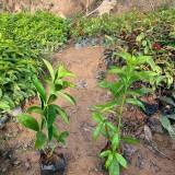 软枝黄蝉价格多少钱一棵 漳州软枝黄蝉袋苗基地出售