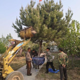 3米油松苗 高度2-3米油松树基地批发