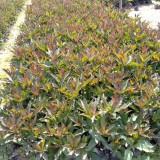 大叶硬枝黄蝉花批发 漳州黄蝉花种植基地供应