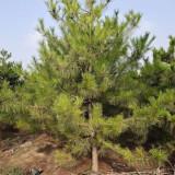 油松多少钱一棵 2米3米4米5米油松出售价格