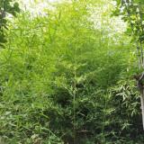 在哪买竹子苗 竹子多少钱一棵 河北竹子苗基地批发