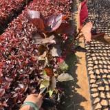 红桑价格 红桑小苗种植基地出售 厂家直销