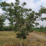 河北山楂树价格 4公分5公分6公分山楂树报价表