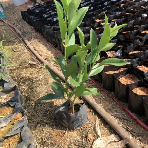 非洲茉莉袋苗 非洲茉莉价格 福建基地批发