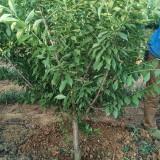 四川李子树 成都基地批发 3-20公分李子树